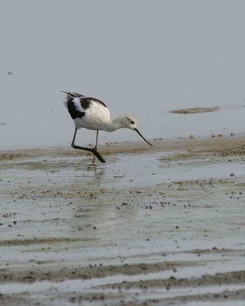 Avocet and Stilts