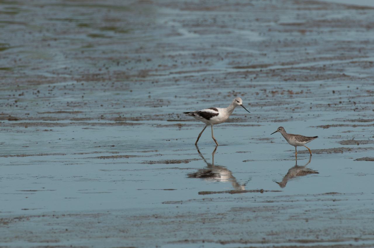 Americal Avocet and Lesser Yellowlegs. Heron Pond. Riverlands Migratory Bird Sanctuary, St. Charles County, Missouri. September 2009