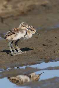 Baby Avocets
