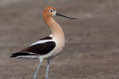 Avocet in Breeding Plumage