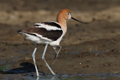Mommy Avocet with a baby under her wing
