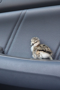 Baby Avocet that I rescued from the BCNH attack