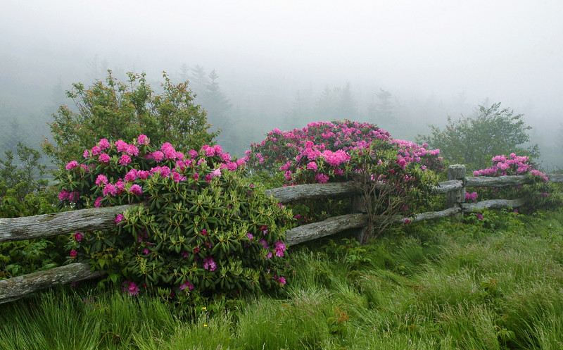 """""""Rhododendrons On Roan Mountain""""  The rhododendrons bloom  profusely on Roan Mountain, at the Tennessee/North Carolina border."""