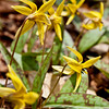 trout lillies seem to wait in line.  I think this composition brings out the wild nature of these beauties, they do not exist in tidy little plots.