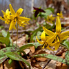 a purple trillium hangs with the trout lilies.