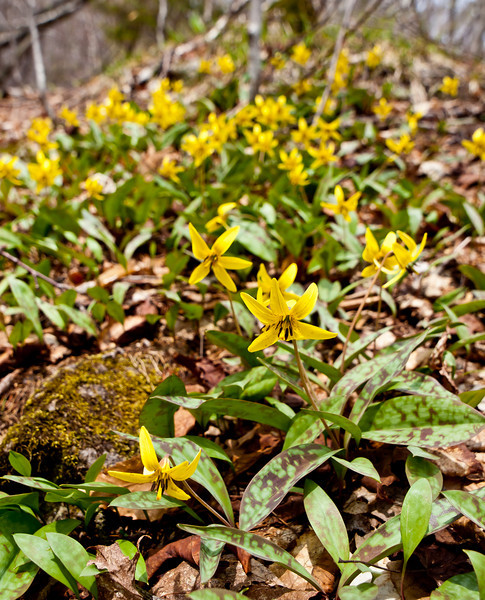 trout lillies cover the trail sides - the profusion was amazing.