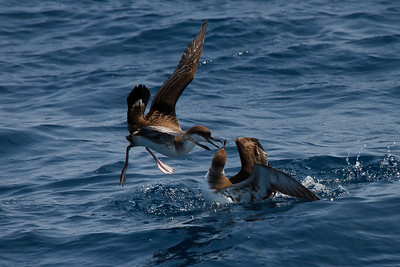 Greater Shearwaters squabbling over food