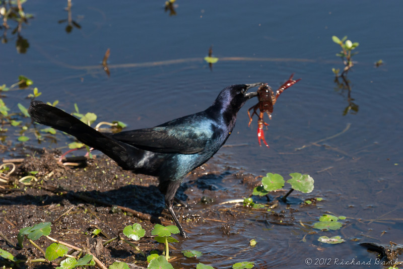 Crawfish for dinner for a great tailed grackle