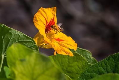 Honey Bee 03