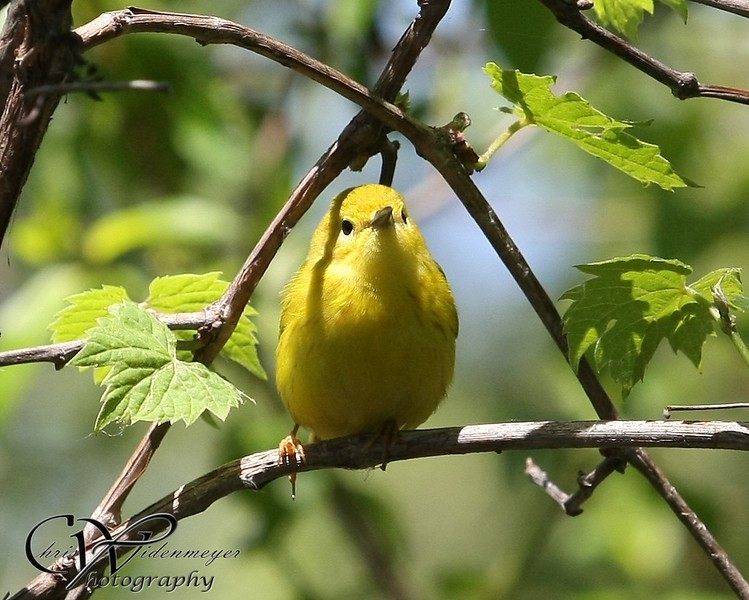Prothonotary at Magee Marsh 2010