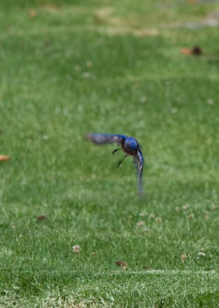 Western Bluebird on the wing....  Bluebirds breed in El Camino Memorial Park.