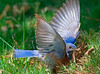 3rd in sequence:  Male WESTERN BLUEBIRD captures worm at El Camino Memorial.  He was startled by the camera clicks and thus raised his wings.