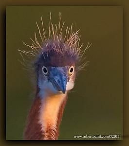 Bad hair day, Tricolor Heron (juvenile)