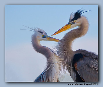 Great Blue Heron.during Courtship