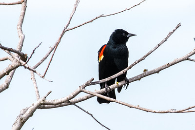 Red-winged Blackbird 03
