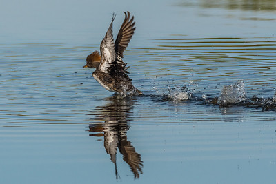 Hooded Merganser 04