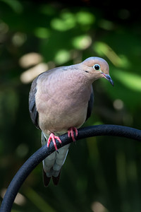 Morning Dove 04