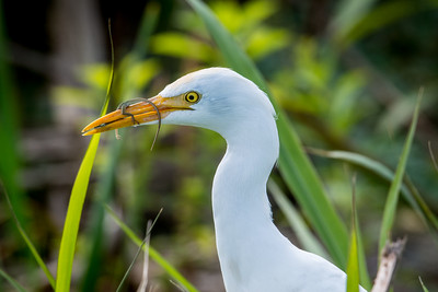 Cattle Egret 04