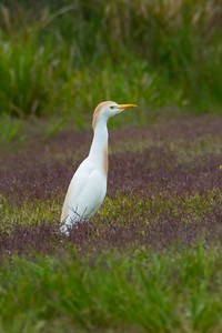 Cattle Egret 02