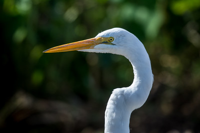 Great Egret 06