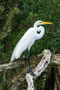 Great Egret 04