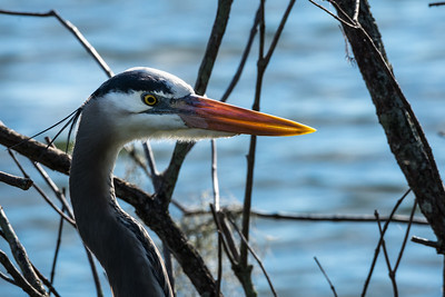 Great Blue Heron 10