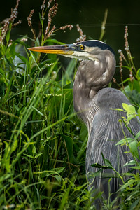 Great Blue Heron 05