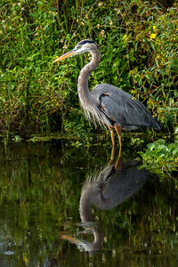Great Blue Heron 04