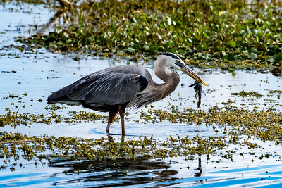 Great Blue Heron 12