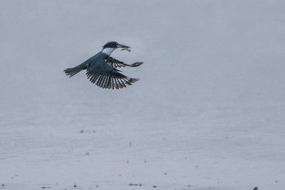 Belted Kingfisher 06