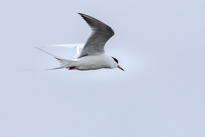 Forester's Tern 003