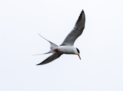 Forester's Tern 001