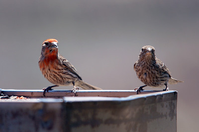Pair of House Finches, Hill 582, Cajon Pass. CA