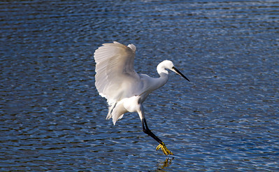 Little Egret, Seaton LNR. 06/10/12