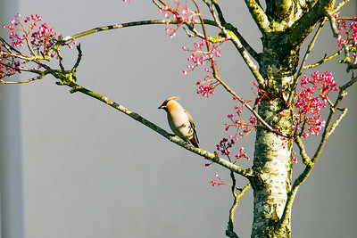 Waxwings. Worle. 16th December 2012.