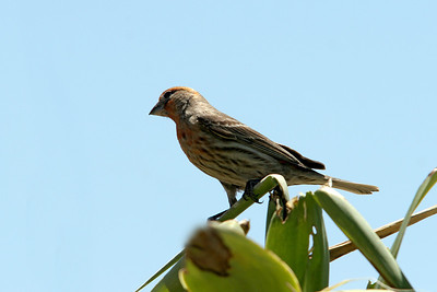 House Finch. Hill 582, Cajon Pass. CA