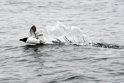 Razorbill taking off. Sea off Isle of May.