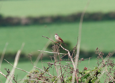 Whitethroat, near Tintagel Cornwall. 17/04/2011.