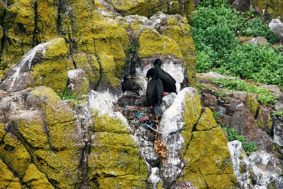 Cormorant nest with parents and chicks. Isle of May.