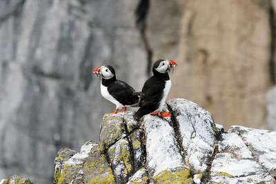 Puffins. Isle of May.