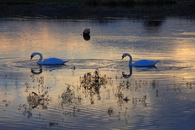 Swans, Uphill Creek.