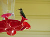 Hummingbird at David and Beth Henderson's home in Laurel, MS<br /> September 2012