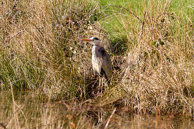 Heron, Chycara Farm B & B, Cornwall. April 2013.