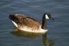 Canadian Goose, Nailsea Pool. 02/04/2012.