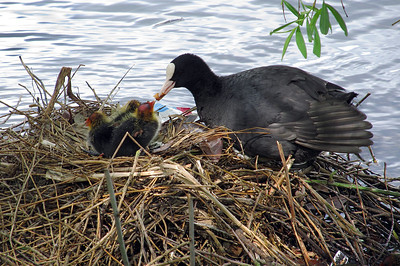 Coot feeding chicks, Westport Lake, Stoke-on-Trent. May 2013.