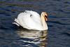 Mute Swan, Nailsea Pool. 02/04/2012.
