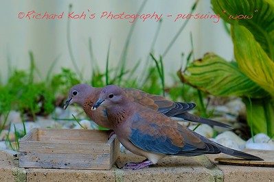 Laughing Tuttle Dove