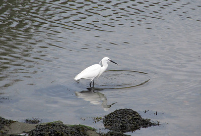Little Egret. West Looe River, Cornwall. 06/04/12