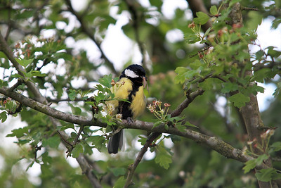 Great Tit. Hewish. 08/05/2011.