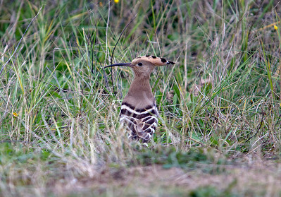 A rare visitor to the West Somerset coast is a Hoopee seen in the sand dunes at Sand Bay near Weston-super-Mare. Wednesday 31st October 2012.